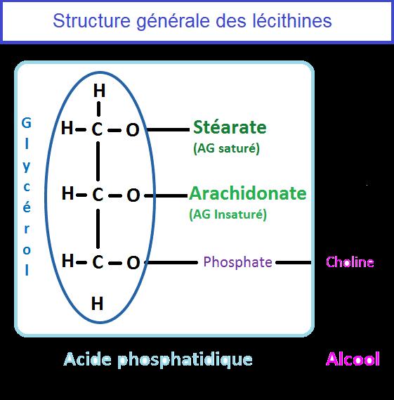 Structure générale des lécithines